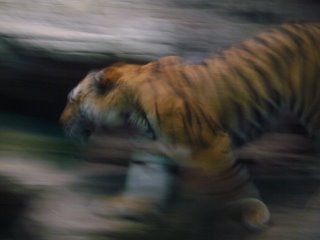 Photograph of a blurred tiger from Denver's Zoo by Joe Beine