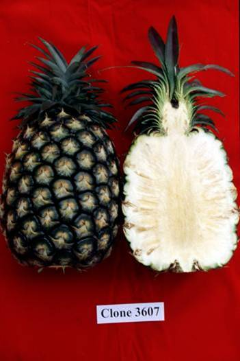 Pineapple Blog: Taiwan Pineapple Varieties
