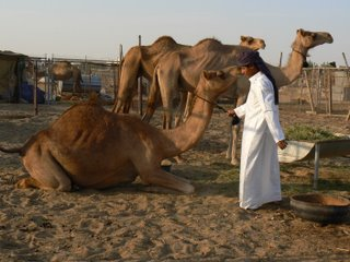 At the camel market