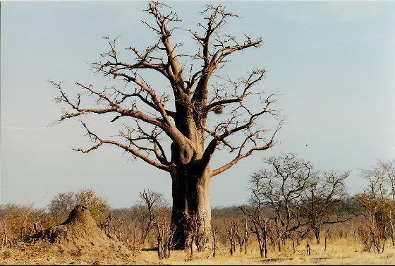 My Home Zimbabwe Upside Down Tree