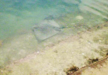 Creature from Frank Kitts Lagooon - a stingray