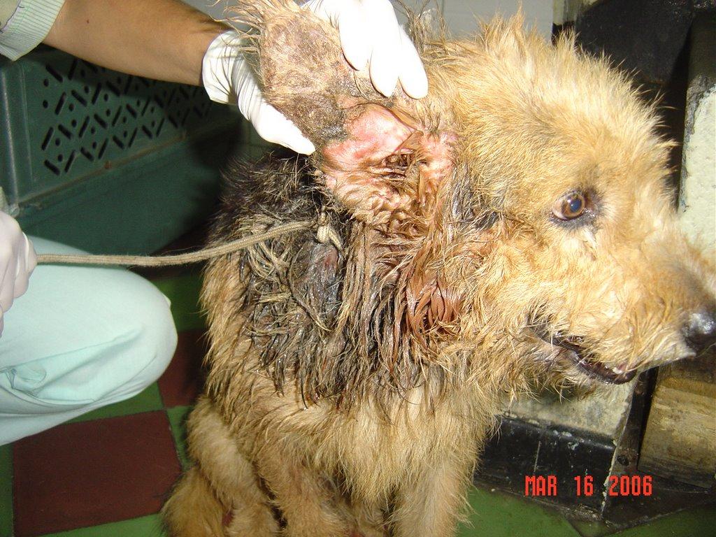 gusanos en la herida del perro