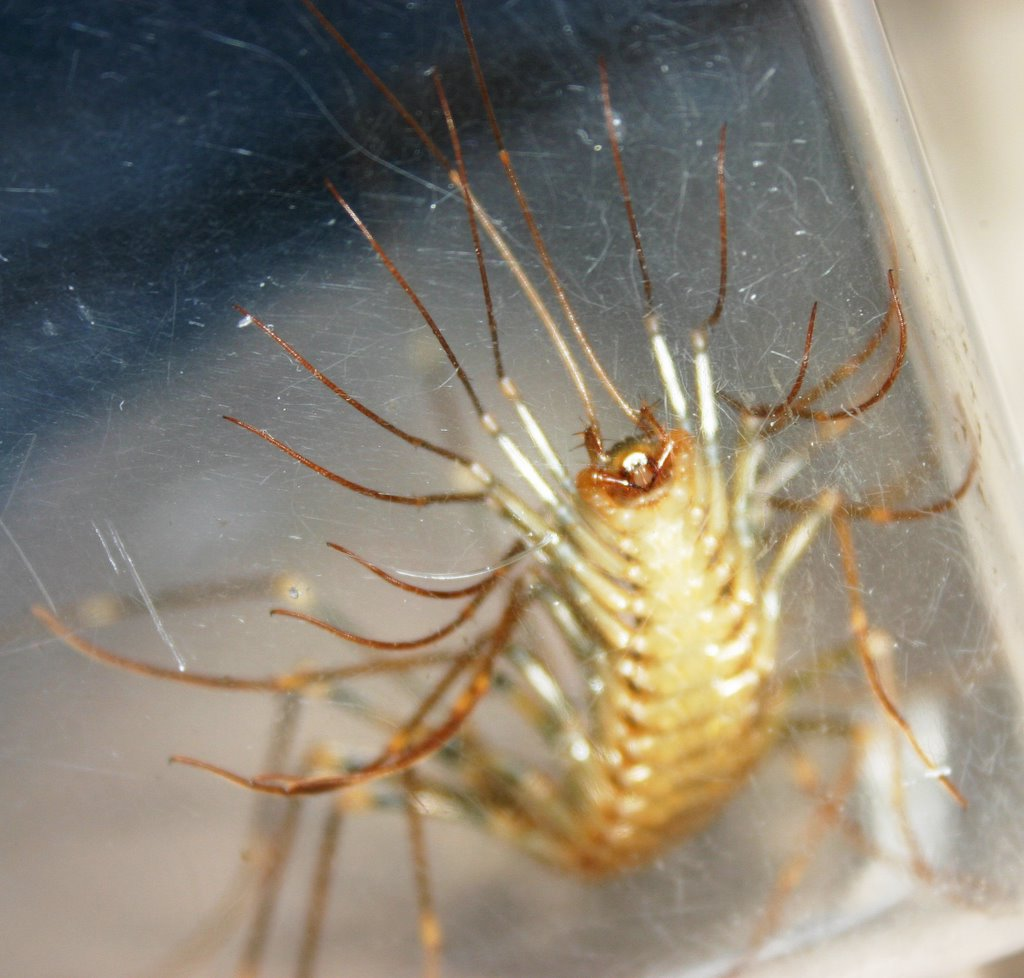 Giant House Centipede - the Bug Brothers