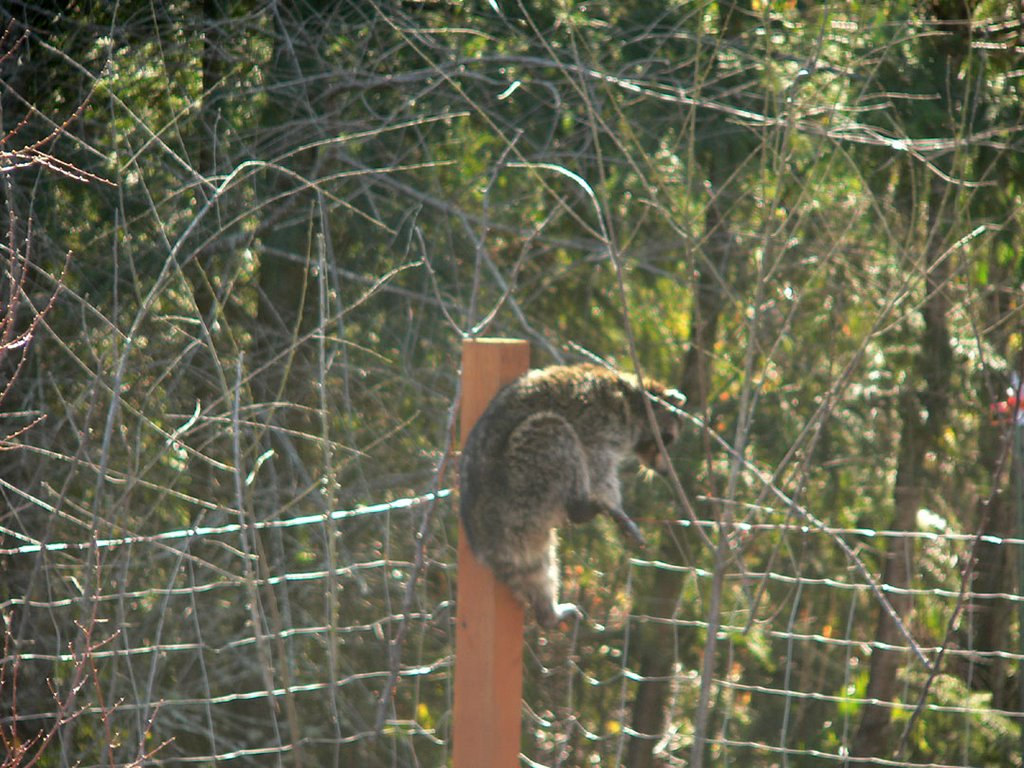 The New Dharma Bums Not Raccoon Proof Fence