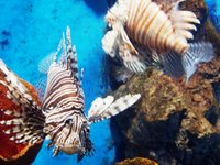 lionfish at the aquarium
