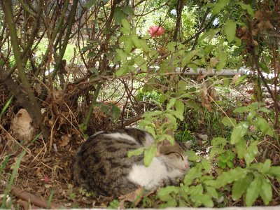 Lady dozes under the rosebush