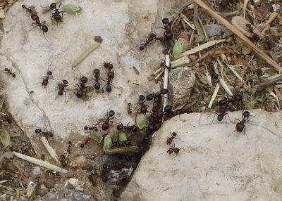 Ants at the entrance to their nest