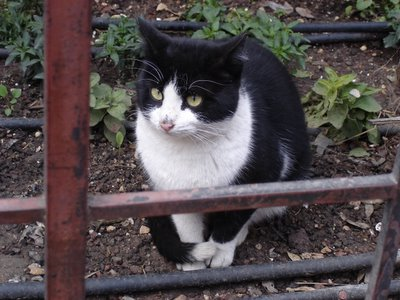 Tuxedo cat in downtown Jerusalem