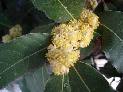 Bay laurel leaves and flowers