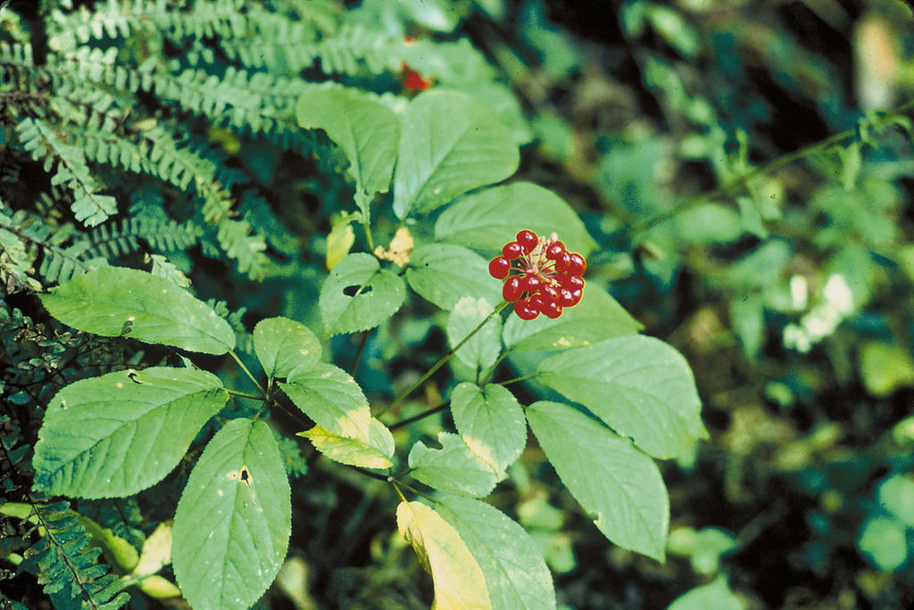 American ginseng (Panax quinquefolius L.) FREE COLOR PHOTO