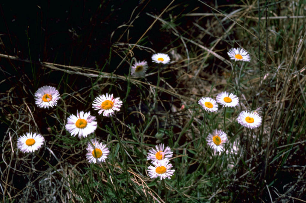 Fleabane Aster (Erigeron coulteri Porter) FREE COLOR PHOTO