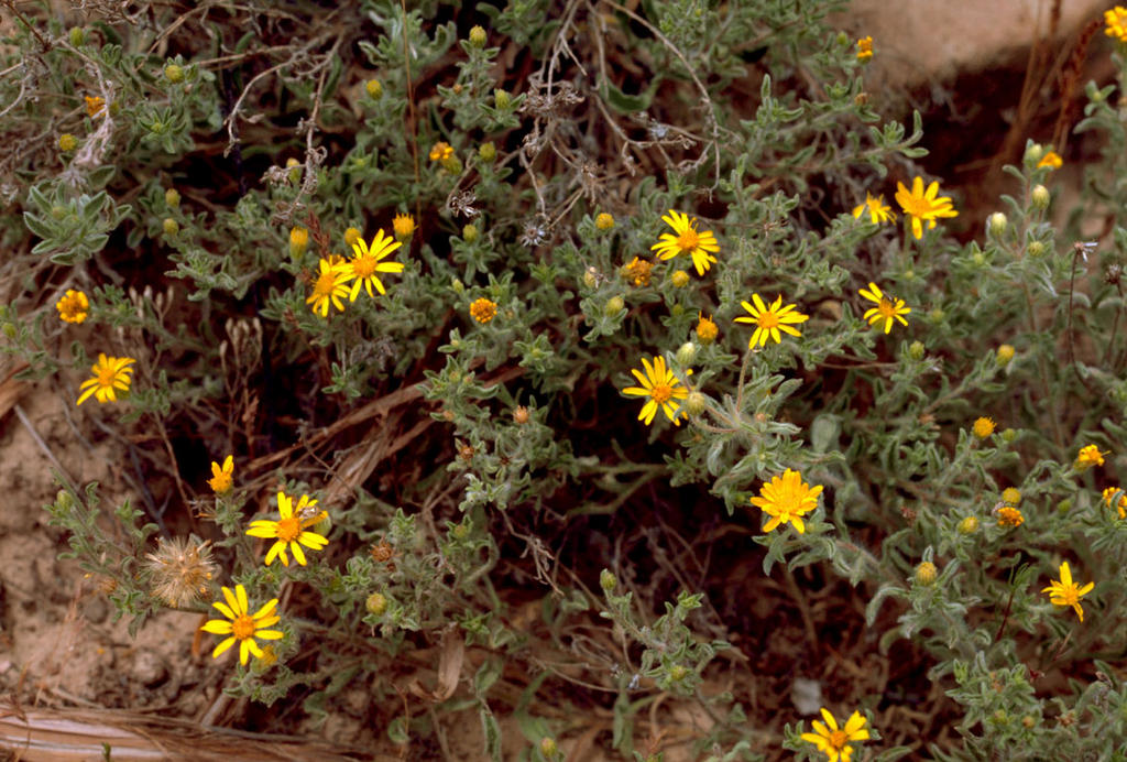 woolly groundsel (Packera cana) FREE COLOR PHOTO