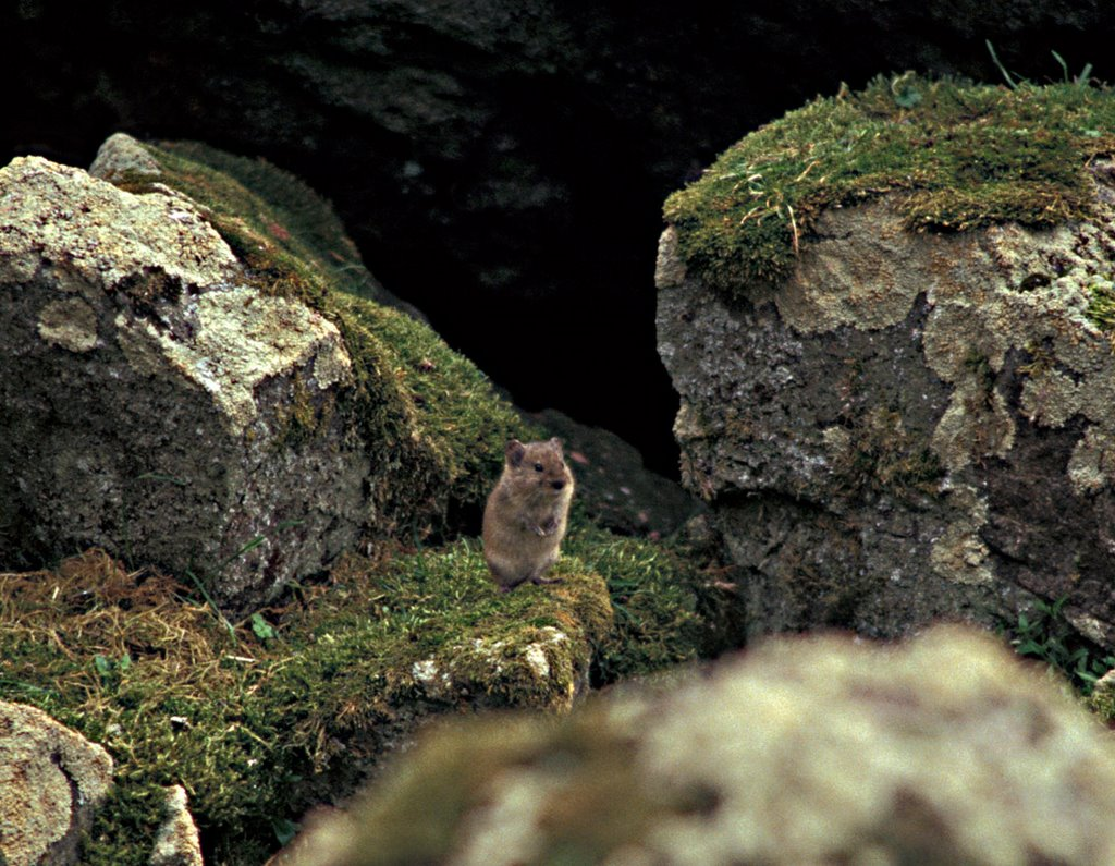 Title: Singing Vole, Hall Island, Alternative Title: Microtus miurus, Creator: Morkill, Anne, Source: slide 0003563, Publisher: USFWS, Contributor: ALASKA MARITIME NATIONAL WILDLIFE REFUGE.