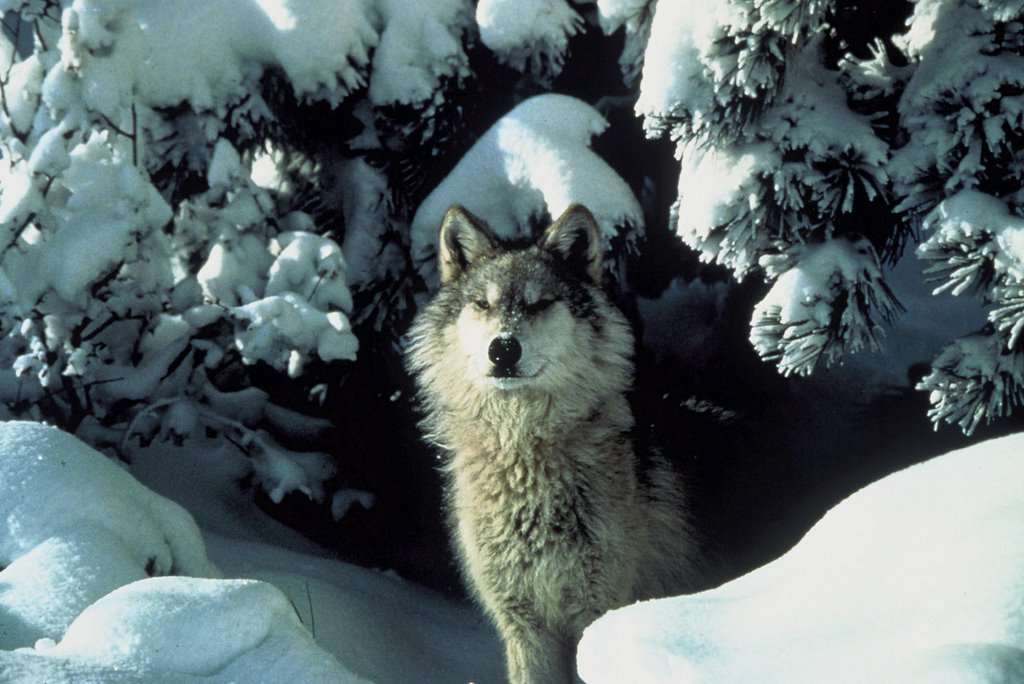 Gray Wolf(Canis lupus)