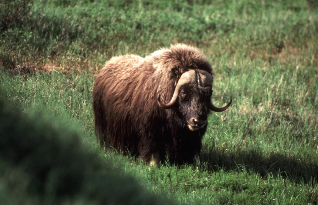 Title: Musk Ox, Alternative Title: (Ovibos moschatus), Creator: U.S. Fish and Wildlife Service, Source: DI-YD-002, Publisher: (none), Contributor: ASSISTANT REGIONAL DIRECTOR-EXTERNAL AFFAIRS.