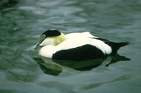 American Eider Drake (Somateria Spectabilis), Title: American Eider Drake, Alternative Title: Somateria Spectabilis, Creator: Smart, Glen, Source: CD#1_3621, Publisher: U.S. Fish and Wildlife Service, Contributor: DIVISION OF PUBLIC AFFAIRS