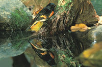 American Redstart (Setophaga ruticilla), Title: American Redstart, Alternative Title: Setophaga ruticilla, Creator: Maslowski, S., Source: AK/RO/03114, Publisher: U.S. Fish and Wildlife Service, Contributor: ASSISTANT REGIONAL DIRECTOR-EXTERNAL AFFAIRS