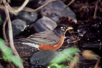 American Robin (Turdus migratorius), Title: American Robin, Alternative Title: Turdus migratorius, Creator: Karney, Lee, Source: WO-Lee Karney-560, Publisher: U.S. Fish and Wildlife Service, Contributor: DIVISION OF PUBLIC AFFAIRS