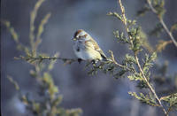 American tree sparrow (Spizella arborea), Title: American tree sparrow, Alternative Title: Spizella arborea, Creator: Menke, Dave, Source: WV-Menke Birds-1-7452, Publisher: U.S. Fish and Wildlife Service, Contributor: NATIONAL CONSERVATION TRAINING CENTER-PUBLICATIONS AND TRAINING MATERIALS.