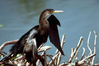 Anhinga (Anhinga anhinga), Title: Anhinga, Alternative Title: (Anhinga anhinga), Creator: Stolz, Gary M., Source: WO8286-005, Publisher: U.S. Fish and Wildlife Service, Contributor: DIVISION OF PUBLIC AFFAIRS.