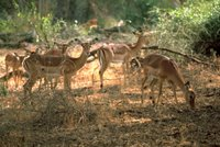 Title: Impala, Alternative Title: (Aepyceros melampus), Creator: Stolz, Gary M. Source: WO5649-007, Publisher: U.S. Fish and Wildlife Service, Contributor: DIVISION OF PUBLIC AFFAIRS.