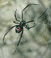 A black widow spider weaves a web, A is for Arachnid -- Yellowstone Alphabet Page, National Park Service, United States Department of the Interior