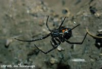 Black Widow Spider USFW Photo by Jim Rorabaugh