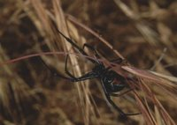 The Black Widow Spider, Pinnacles National Monument - Nature & Science, National Park Service, United States Department of the Interior