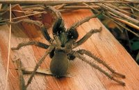 hairless tarantula, Pinnacles National Monument, National Park Service (NPS), U.S. Department of the Interior.