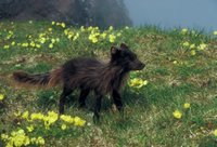 Arctic fox in summer coloration was photographed amoung Alaska Poppies (Papaver alaskanum)