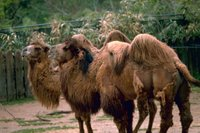 Bactrian Camels (Camelus bactrianus), Old World camels fall basically into two species, the Arabian and the Bactrian.