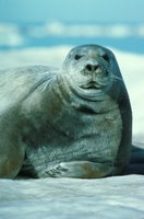 Bearded Seal (Erignathus barbatus), Bearded seals are solitary creatures and can be seen resting on ice flows with their heads facing downward into the water.