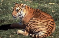 Bengal Tiger (Panthera tigris tigris), cat, carnivore, predator, mammals, wildlife, animals, endangered.