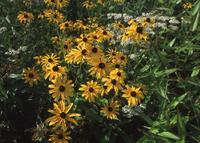 NRCSCT01030 jpg By: Paul Fusco 2001 Black-eyed Susan flowers in an early successional habitat restoration project in Hartford County Connecticut
