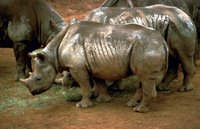 Black Rhinos (Diceros bicornis), the Black Rhino has suffered the most drastic decline in total numbers of all rhino species.