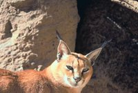 Title: Caracal, Alternative Title: (Caracal caracal), Creator: Stolz, Gary M., Source: WO5677-007, Publisher: U.S. Fish and Wildlife Service, Contributor: DIVISION OF PUBLIC AFFAIRS,