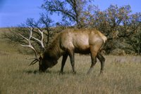 Title: Elk, Alternative Title: (Cervus elaphus), Creator: USFWS, Source: WO-4419, Publisher: U.S. Fish and Widlife Service, Contributor: DIVISION OF PUBLIC AFFAIRS