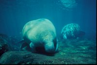 Title: Florida Manatee, Alternative Title: (Trichechus manatus latirostris), Creator: Reid, Jim, Source: WO0413-14, Publisher: U.S. Fish and Wildlife Service, Contributor: DIVISION OF PUBLIC AFFAIRS.