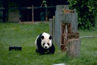 Title: Giant Panda, Alternative Title: (Ailuropoda melanoleuca), Creator: Stolz, Gary M., Source: WO8455-002, Publisher: U.S. Fish and Wildlife Service, Contributor: DIVISION OF PUBLIC AFFAIRS.