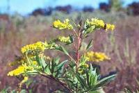 Goldenrod (Solidago canadensis var. scabra) adopted as state flower in 1926.