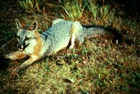 Title: Gray Fox, Alternative Title: (Urocyon cinereoargenteus), Creator: USFWS, Source: WO1088-25, Publisher: U.S. Fish and Wildlife Service, Contributor: DIVISION OF PUBLIC AFFAIRS