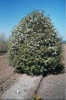 The White Hawthorn Blossom (Crataegus arnoldiana) was named the state flower of Missouri on March 16, 1923.