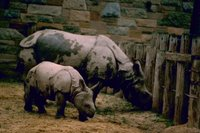Title: Indian Rhinos, Alternative Title: (Rhinoceros unicornis), Creator: Stolz, Gary M. Source: WO8458-002, Publisher: U.S. Fish and Wildlife Service, Contributor: DIVISION OF PUBLIC AFFAIRS.
