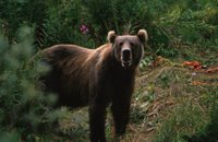 Title: Kodiak Brown Bear, Alternative Title: Ursus arctos, Creator: Hollingworth, John and Karen, Source: WV10255, Publisher: U. S. Fish and Wildlife Service, Contributor: NATIONAL CONSERVATION TRAINING CENTER-PUBLICATIONS AND TRAINING MATERIALS.