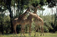 Title: Masai giraffe, Alternative Title: (Giraffa camelopardalis tippelskirchi), Creator: Stolz, Gary M. Source: WO5635-007, Publisher: U.S. Fish and Wildlife Service, Contributor: DIVISION OF PUBLIC AFFAIRS.