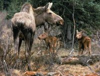 Title: Moose cow with two calves, Alternative Title: (Alces alces shirasi Nelson), Creator: USFWS, Publisher: (none), Contributor: YUKON FLATS NATIONAL WILDLIFE REFUGE.