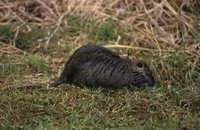 Title: Nutria, Alternative Title: (Myocaster coypus), Creator: Hollingsworth, John and Karen, Source: WV10887, Publisher: U.S. Fish and Wildlife Service, Contributor: NATIONAL CONSERVATION TRAINING CENTER-PUBLICATIONS AND TRAINING MATERIALS.