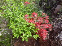THE BRIGHT RED FLOWERS OF LONG-LEAVED PAINTBRUSH (CASTILLEJA LINARAIEFOLIA) GRACE THE INNER CANYON TRAILS OF GRAND CANYON N.P. NPS PHOTO.