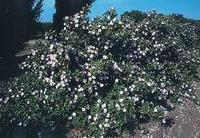 The rose, wild or cultivated, in all its variety and colors, was made the State flower in 1955.