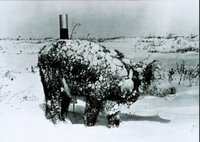 Young steer after a March blizzard. Blizzard conditions are extremely hard on exposed livestock. Image ID: wea00950, Historic NWS Collection Location: Rapid City, South Dakota Photo Date: March 4, 1966